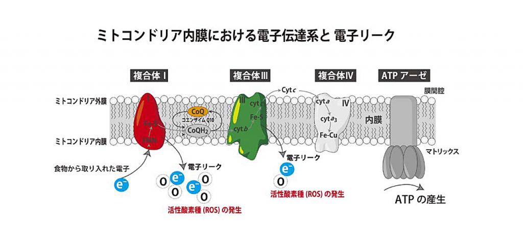 ミトコンドリア内膜における電子伝達系と電子リーク