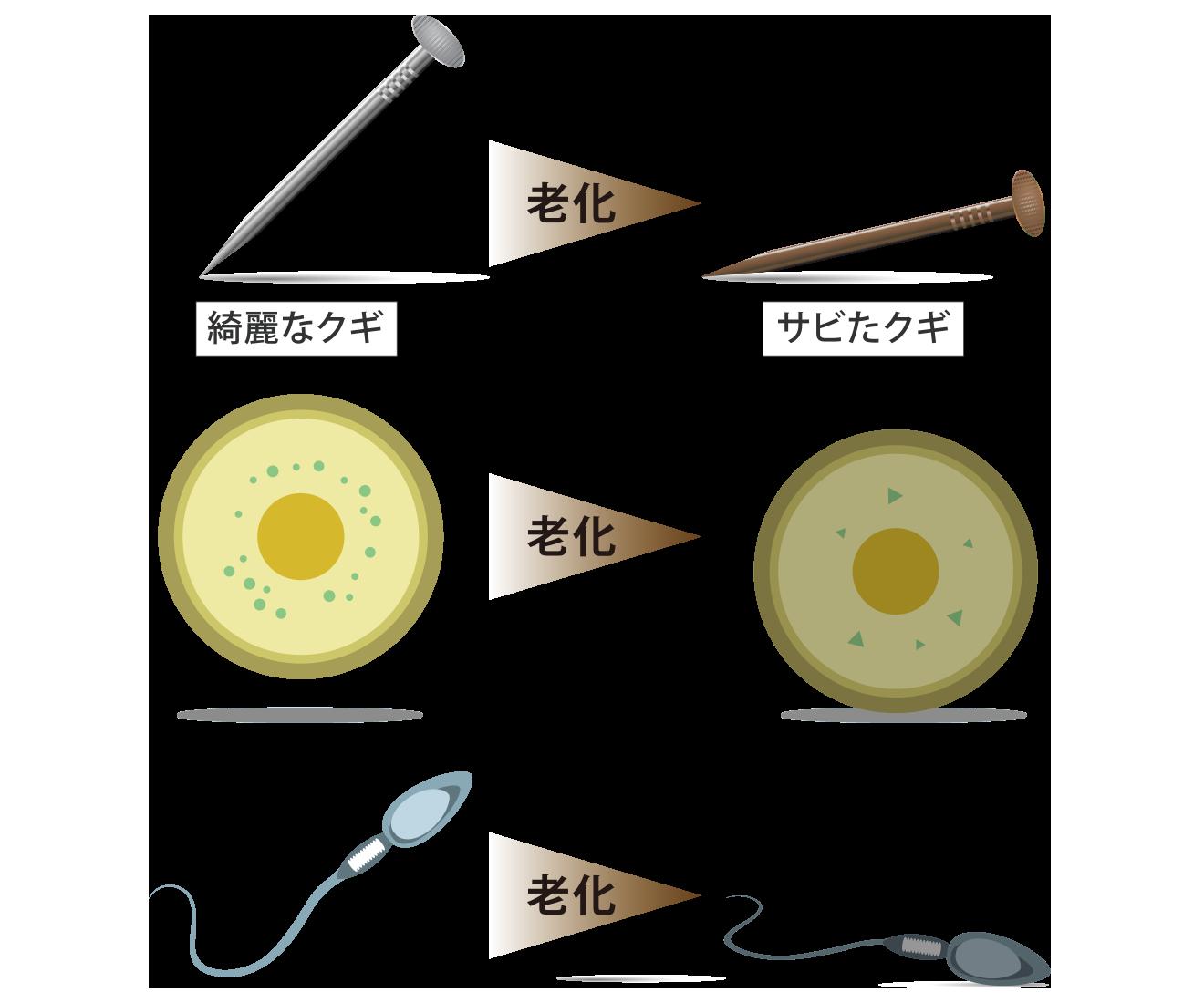 錆びた釘と錆びた卵子精子