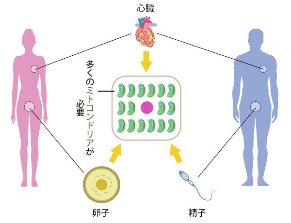 心臓同様、卵子・精子にも多くのミトコンドリアが必要